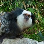 Answer Marmoset,eyes