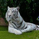 Answer white,tiger