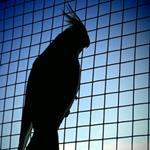 Answer Parrot,silhouette