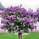 Answer lilac,tree
