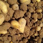 Answer tuber,heart