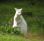 Answer albino,Kangaroo