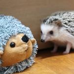 Answer hedgehog,toy