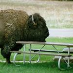 Answer bison,table