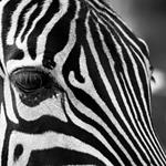 Answer zebra,stripes