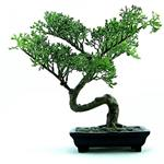 Answer Bonsai,japanese
